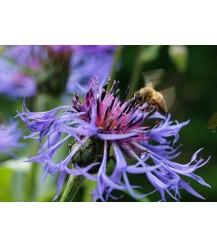 Postkarte Kornblume mit Honigbiene